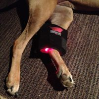 Red Light Therapy Mini Premium Therapy Wrap in use on a dog